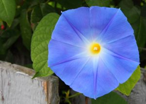 blueflower1647.jpg